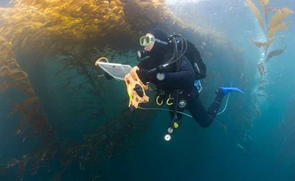 From Alaska to Baja: UGA researchers help document kelp migration